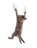 Clamber divertente del gatto isolato immagine stock