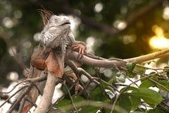 Clamber grigio fantastico dell'iguana sulla cima di un cespuglio fotografia stock