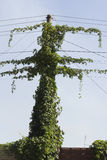 Clamberer ivy entwined electric pole with wires Royalty Free Stock Photos