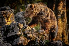 Clambering bear Stock Image