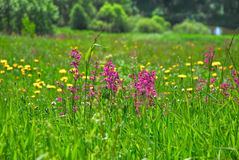 The clammy campion on the meadow Royalty Free Stock Images