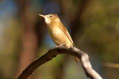 Clamorous reed-warbler Royalty Free Stock Image