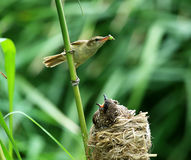 Clamorous Reed Warbler Royalty Free Stock Photography