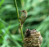Clamorous Reed Warbler Royalty Free Stock Photo