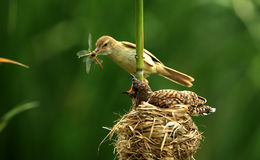 Clamorous Reed Warbler Royalty Free Stock Images