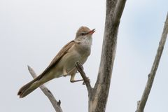 Clamorous reed warbler perched on plant stem stock photo