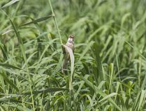 Clamorous reed warbler perched on reeds Stock Image