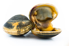 Clams Royalty Free Stock Photo