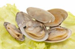 Clams. Fresh clams on a lettuce leaf Stock Photography