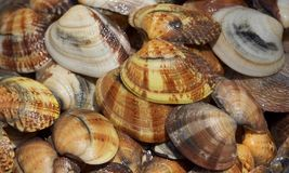 Clams #2 Royalty Free Stock Photography