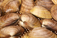 CLAMS. Blanch clams over white background royalty free stock image