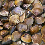 Clams. For sale at a morning market Royalty Free Stock Photos