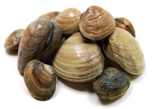Clams. A pile of isolated littleneck clams stock photography