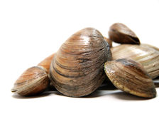 Clams. A pile of isolated littleneck clams Stock Photos