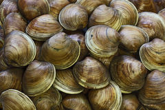 Clams Background Royalty Free Stock Photos