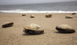 Clams on a beach royalty free stock image