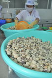 Clams are being washed and packaged in a seafood processing plant in Tien Giang, a province in the Mekong delta of Vietnam Royalty Free Stock Photo