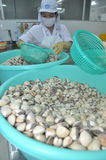 Clams are being washed and packaged in a seafood processing plant in Tien Giang, a province in the Mekong delta of Vietnam Stock Images