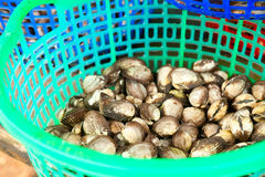 Clams in a bucket Royalty Free Stock Images