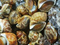 Clams at food market Royalty Free Stock Images
