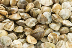 Clams Stock Images