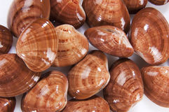 Clams mollusk Royalty Free Stock Photography
