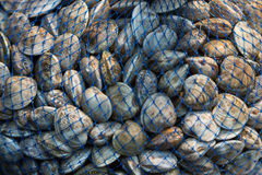 Clams in a net bag. Fresh clams in a net bag for sale in the Rialto market, Venice, Italy royalty free stock photos