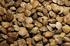 Clams pile Stock Images