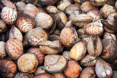 Clams shell background Royalty Free Stock Images