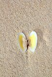 Clams shell open in caribbean beach sand. Clamshell Royalty Free Stock Photography