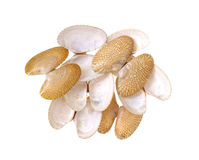 Clams shells Stock Image