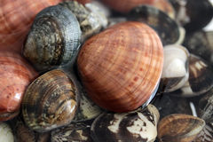 Clams vongole veraci Stock Image