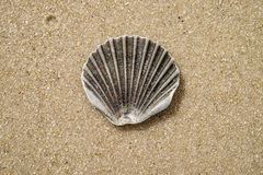 Clamshell on the beach Stock Images