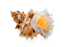 Clamshell isolated Stock Image