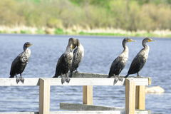 Clan of Cormorants Royalty Free Stock Photography