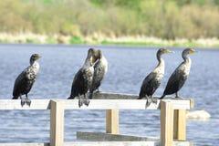 Clan dei Cormorants fotografia stock libera da diritti