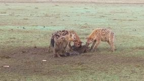 Clan of hyenas eating carrion in savanna at africa stock video footage