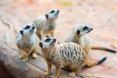 Clan of Meerkats Suricata suricatta Royalty Free Stock Images
