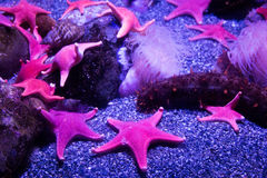 Clan of Neon Starfish. About a dozen starfish glow in pretty pink neon under the lights of the aquarium Royalty Free Stock Photo