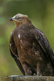 Clanga Aquila - αετός Στοκ Φωτογραφία