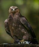 Clanga Aquila - αετός Στοκ Εικόνες