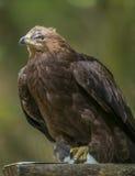 Clanga Aquila - αετός Στοκ Φωτογραφίες