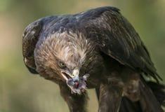 Clanga Aquila - αετός Στοκ φωτογραφία με δικαίωμα ελεύθερης χρήσης