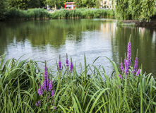 Clapham Commons, London - pink flowers. This picture shows a pond in Clapham Commons in London royalty free stock photos