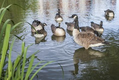 Clapham Commons, London - the pond/ducks. This picture shows a pond in Clapham Commons in London stock image