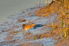 Clapper Rail Stock Photo