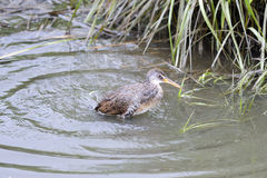 Clapper Rail Stock Images