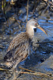 Clapper Rail royalty free stock photography