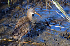 Clapper Rail Stock Photos