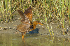 Clapper Rail. Adult California Clapper Rail aka Ridgway's Rail Bathing In Tidal Marsh At The Tijuana Slough National Wildllife Refuge, Imperial Beach, California stock image